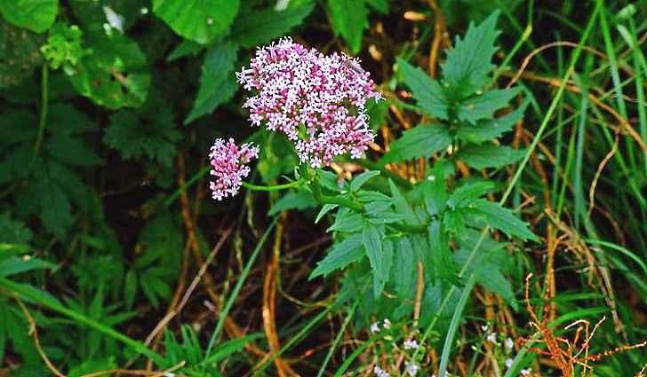 Ботаническая характеристика валерианы