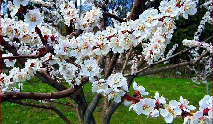 Ботаническое описание абрикосого дерева