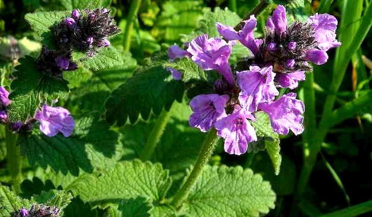 Ботаническое описание лекарственного растения - буквицы лекарственной