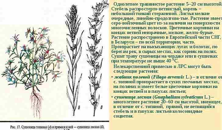 Ботаническое описание сушеницы болотной