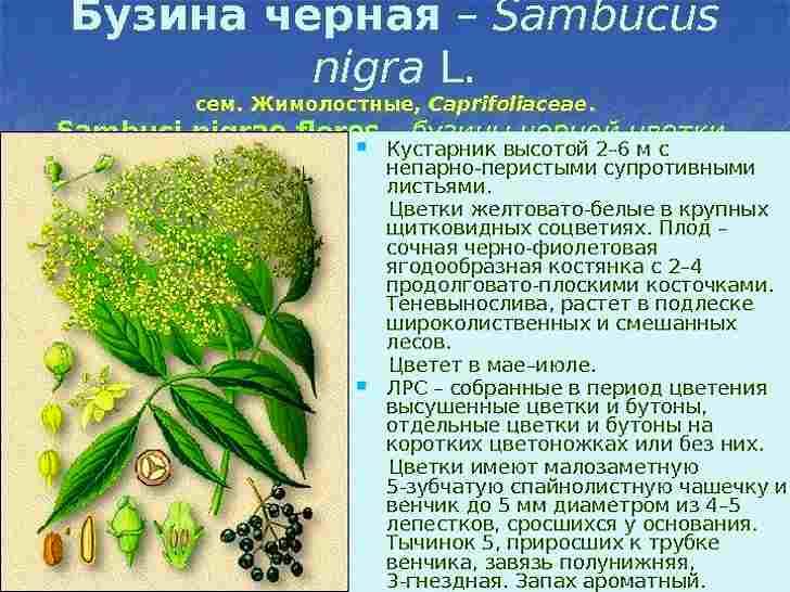 Ботаническое описание бузины черной
