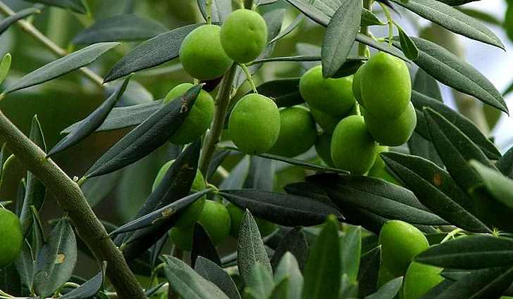 Информация об оливковом масле