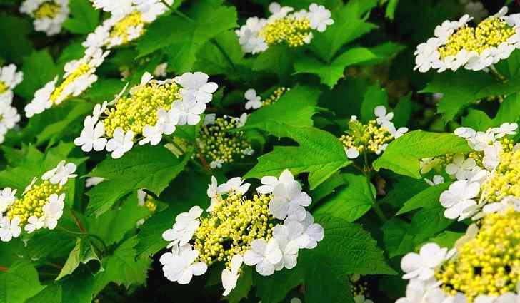 Показания использования цветков калины