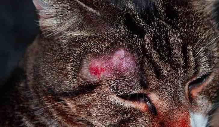 Причины возникновения стригущего лишая - источником является кошка