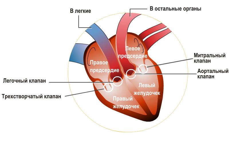 Трикуспидальный клапан