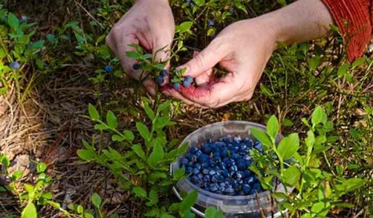 Сбор и хранение ягод черники