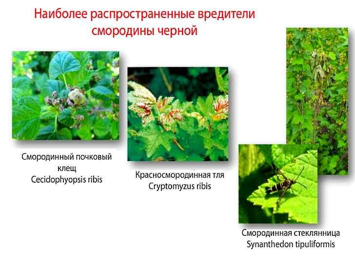 Вредители черной смородины и борьба с ними, фото