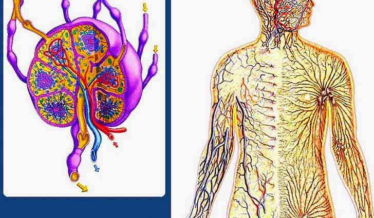 Что это такое лимфатические узлы