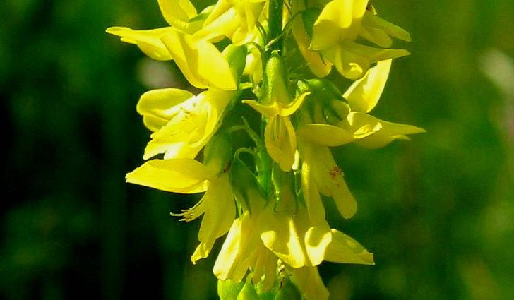 Донник желтый в сборе растений при стенокардии