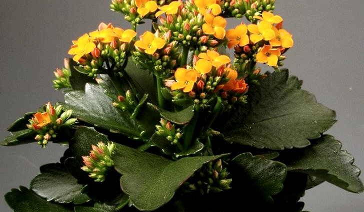 Цветок каланхоэ в рецепте от стенокардии