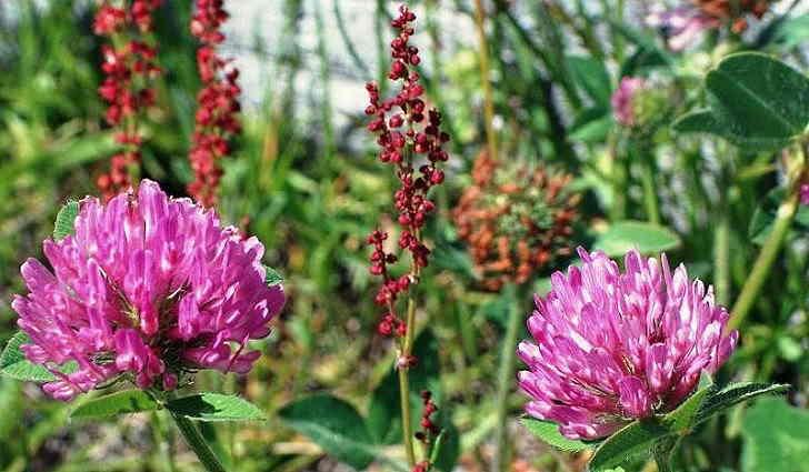 Клевер красный в сборе растений