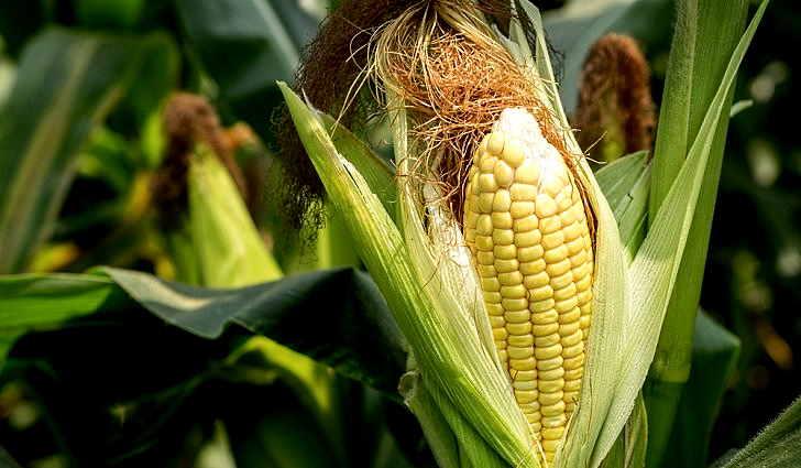 Кукурузные рыльца - применение в народной медицине