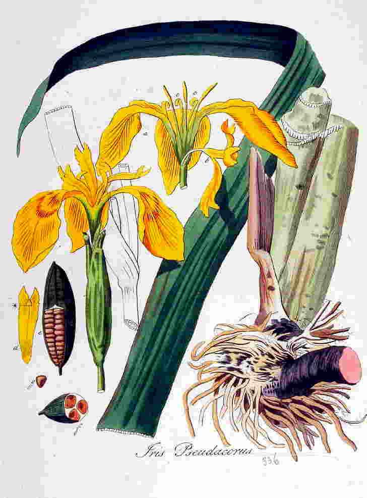 Ирис - лечебные свойства и противопоказания, народные рецепты