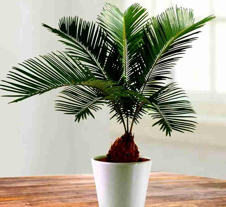 Пальма в горшке
