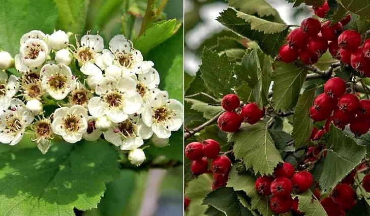 Плоды боярышника входят в народное средство лечения энцефалопатии
