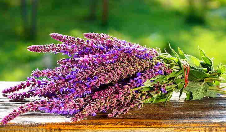 Шалфей - народное средство лечения плеврита