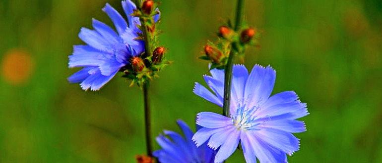 Трава цикорий лечебные свойства и противопоказания фото