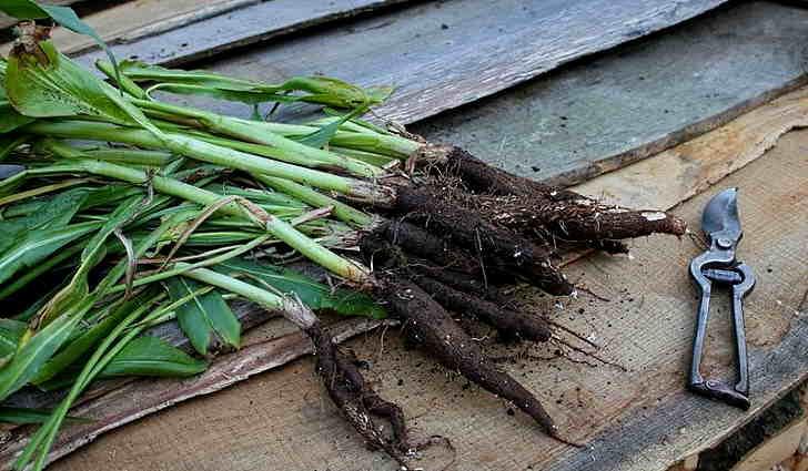 Выращивание козлобородника лугового