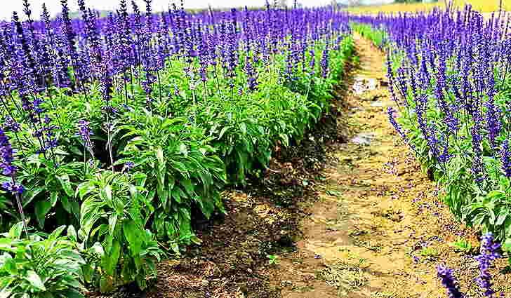 Особенности выращивания шалфея лекарственного